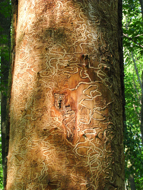 Larvae patterns of EAB