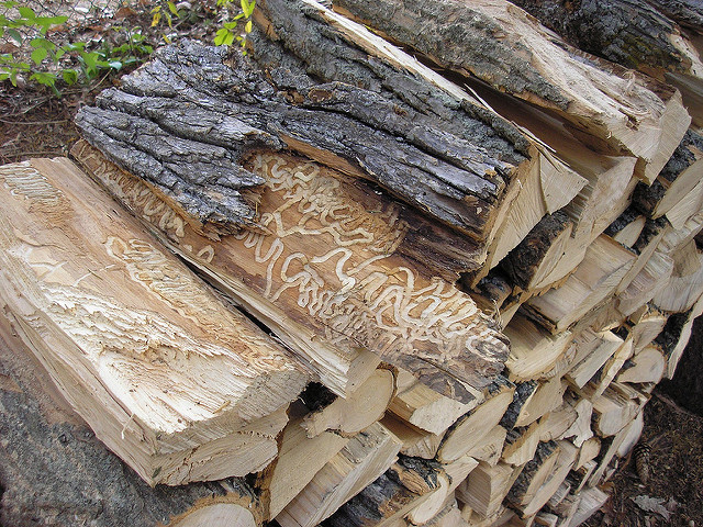 EAB infected Firewood