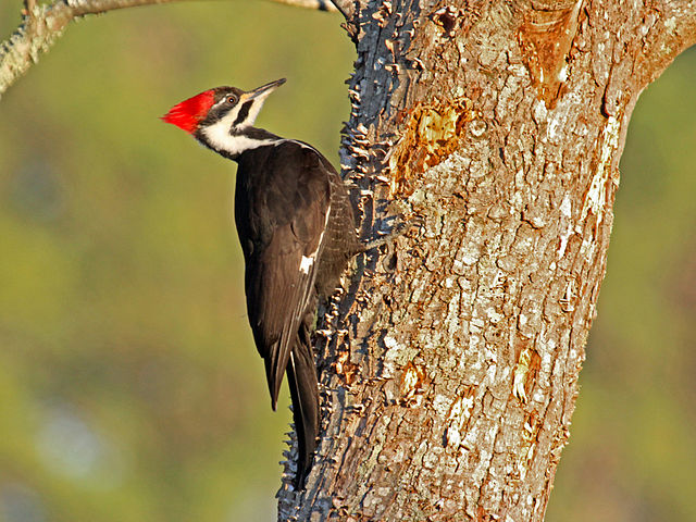 Woodpecker on Ash Tree